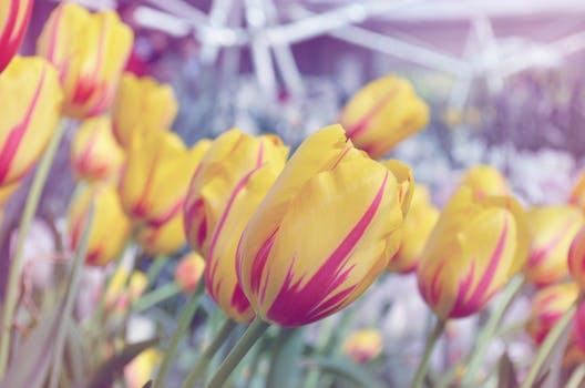La primera burbuja financiera: La crisis de los tulipanes